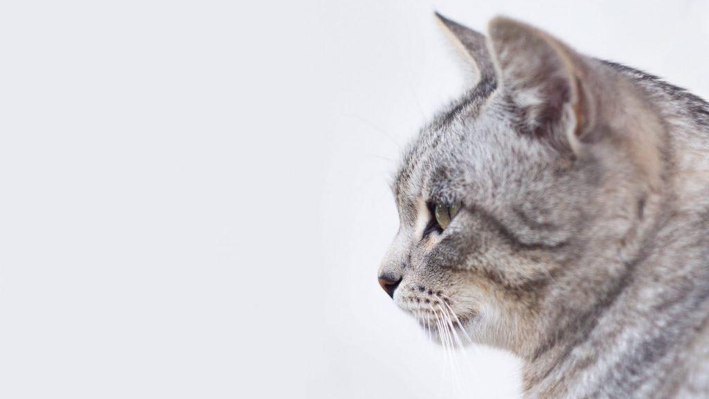 Gatto di profilo su sfondo grigio